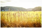 Reeds in the sun near Almag
