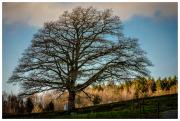 Stillingsön oak tree