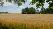 View over wheatfield from Svanhals Hostel