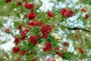 Folklore has it that the more Rowan berries the colder the coming winter will be