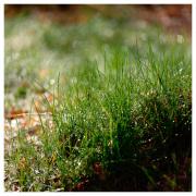 Morning dew on Orust