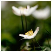 Anemones, Orust, May 1st