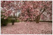Magnificent flowering Magnolia tree in Old Salem