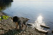 Roxy shaking the water off after a swim in lake Vättern at Borghamn