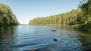 Roxy swimming in Lake Snyten near Engelsbergs Bruk, Ängelsberg, Västmanland