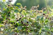 Lots of black berries this year