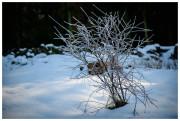 Chilly bush.